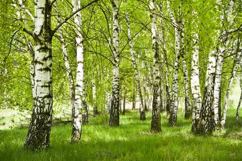 Brzoza rosnąca w lesie liściastym