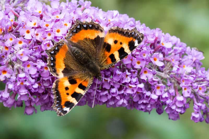 Motyl i budleja Dawida w okresie kwitnienia