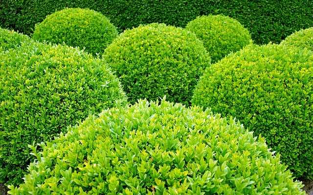 Bukszpan - odmiany, pielęgnacja, przycinanie, sadzenie, rozmnażanie