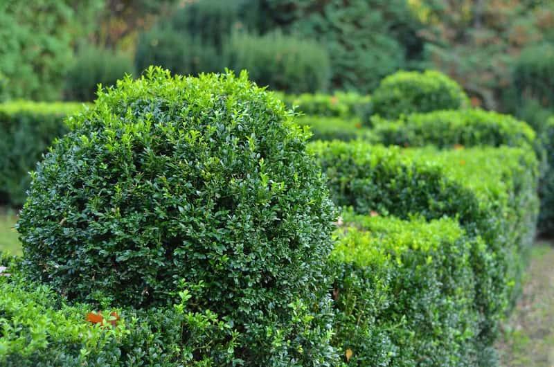 Bukszpan wieczniezielony w ogrodzie