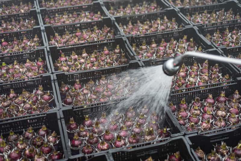 Cebule kwiatowe podczas zaprawiania