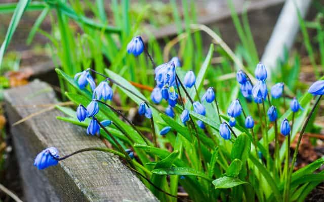 Cebulica syberyjska - sadzenie, uprawa i pielęgnacja pięknego kwiatu