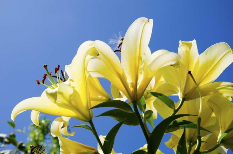 Żółte lilie na tle błekitnego nieba