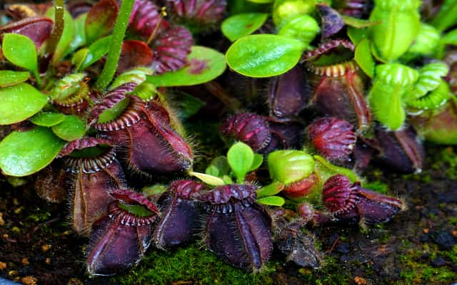 Cefalotus bukłakowaty (Cephalotus follicularis) - opis, uprawa, pielęgnacja, porady