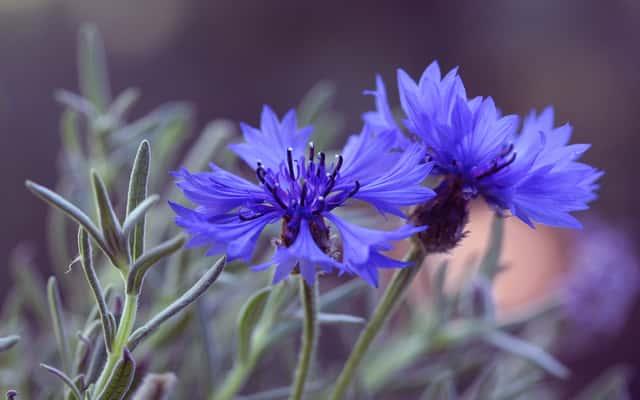 Chaber bławatek – dla jednych chwasty, dla innych uprawiana roślina z właściwościami leczniczymi