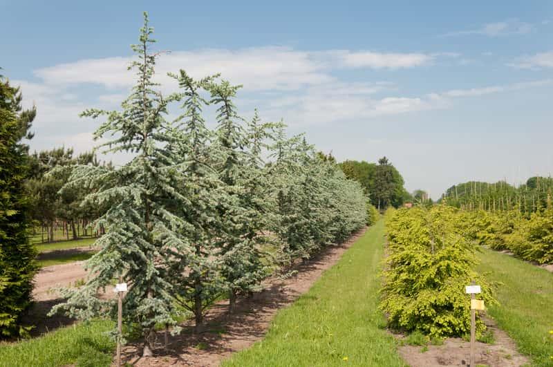 Choina kanadyjska - wymagania, odmiany, sadzenie, uprawa, pielęgnacja
