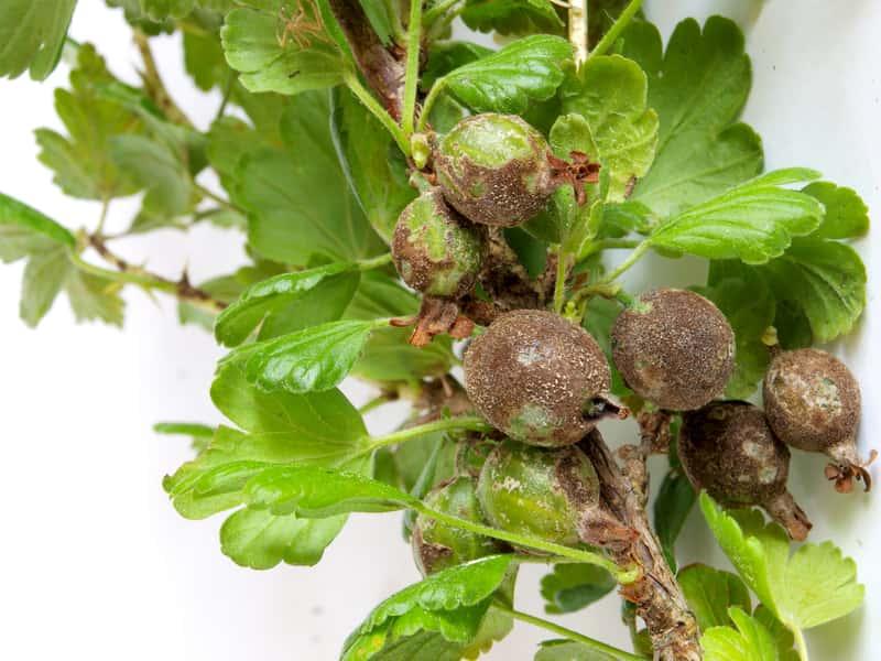Porażone przez chorobe owoce agrestu