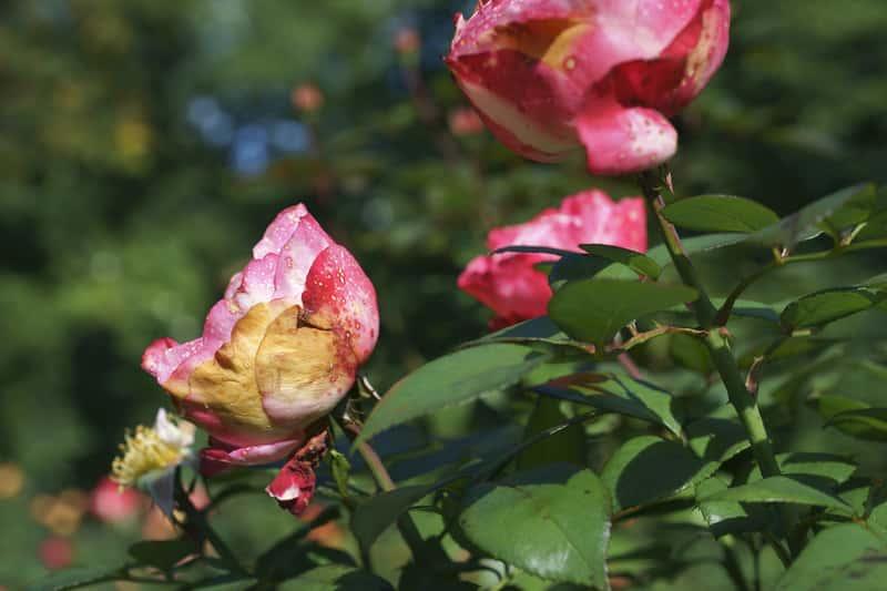 Choroby i szkodniki róż - sprawdzone sposoby ich zwalczania