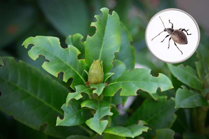 Porażone liście rododendrona i szkodniki