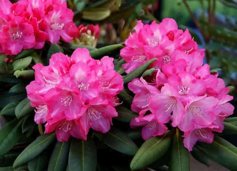 Różanecznik w okresie kwitnienia