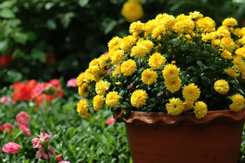 Chryzantemy doniczkowe w czasie kwitnienia
