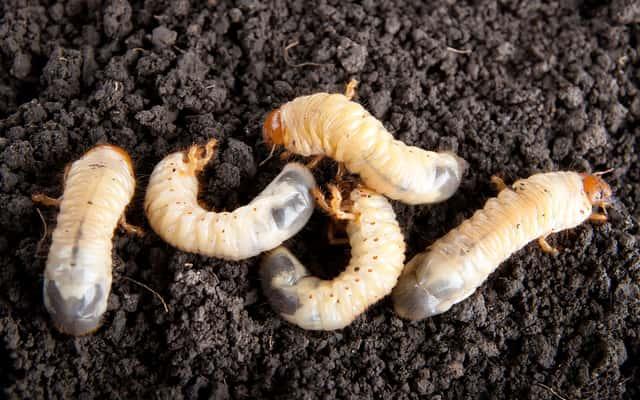 Chrząszcz majowy – sprawdzone sposoby na zwalczanie go w ogrodzie