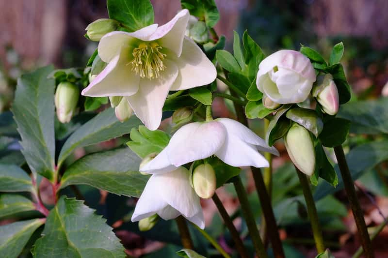 Ciemiernik biały w czasie kwitnienia