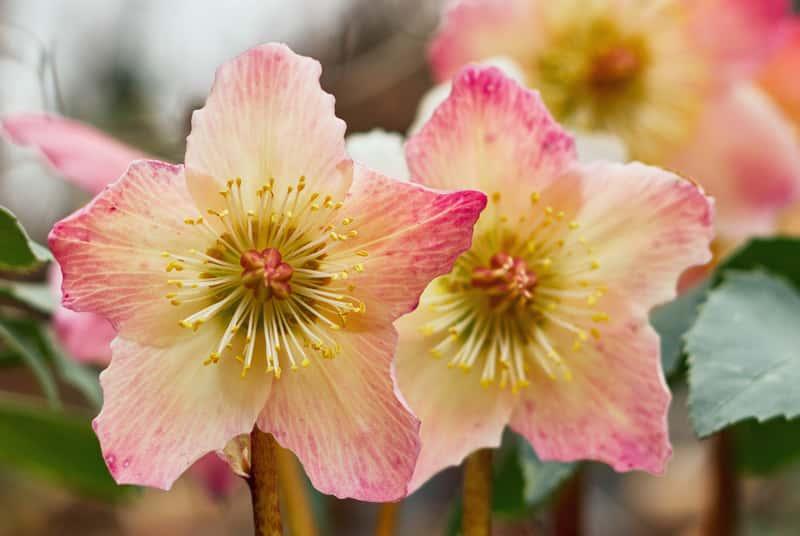 Ciemiernik ogrodowy w czasie kwitnienia