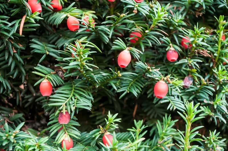 Cis pospolity z czerwonymi owocami