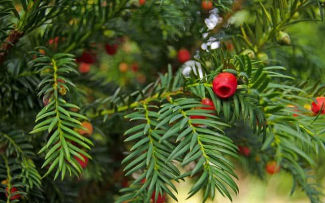 Cis w ogrodzie – sadzenie, uprawa i prawidłowa pielęgnacja