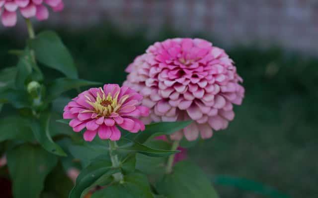 Kwiat cynia - odmiany, uprawa, pielęgnacja, właściwości, choroby