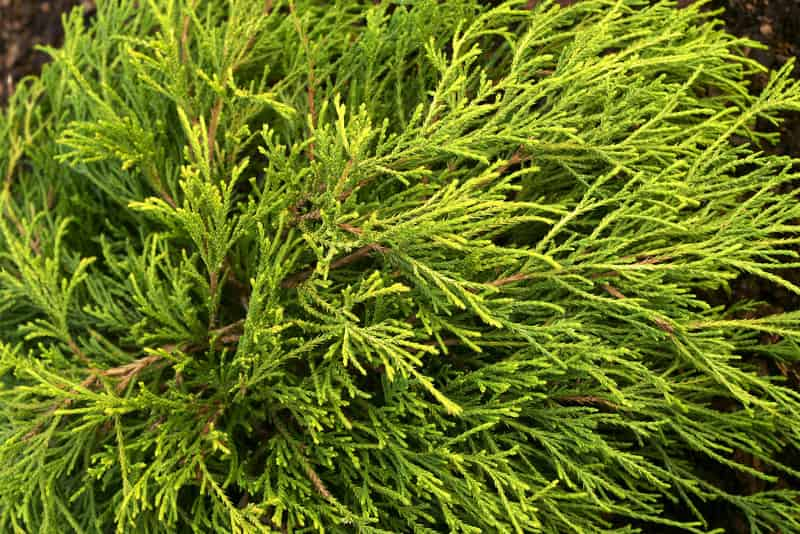 Zielony cyprysik gorszkowy