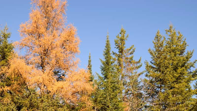 Świerk czarny (Picea mariana) – wymagania, uprawa, przycinanie, porady