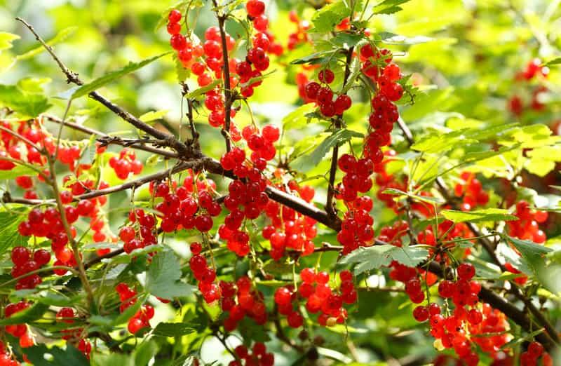 Czerwona porzeczka na krzewie