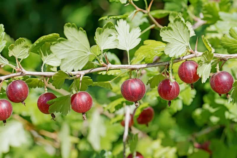 Agrest czerwony – odmiany, sadzenie, pielęgnacja i przycinanie
