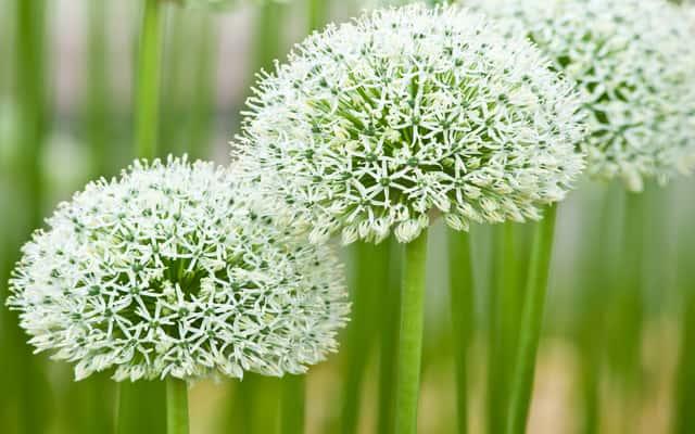 Czosnek ozdobny - odmiany, cena, sadzenie, rozmnażanie i inne porady