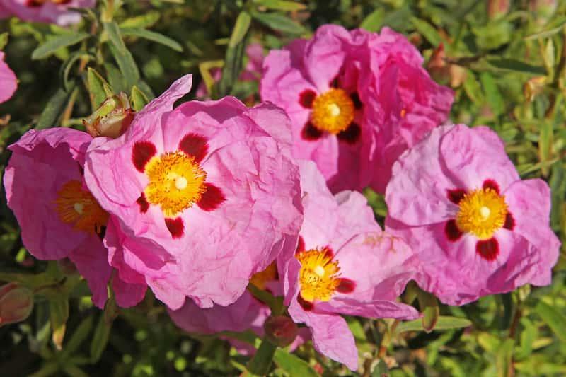 Różowy kwiat zioła czystka