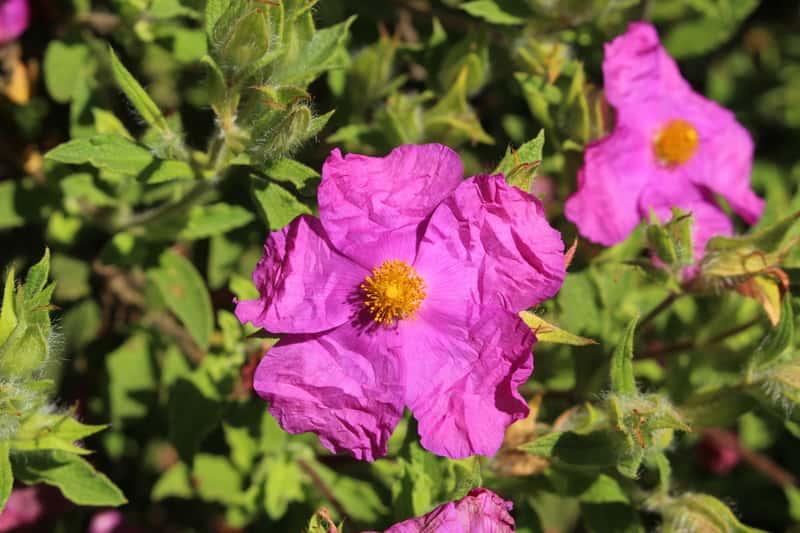 Różowy kwiat ziela czystka