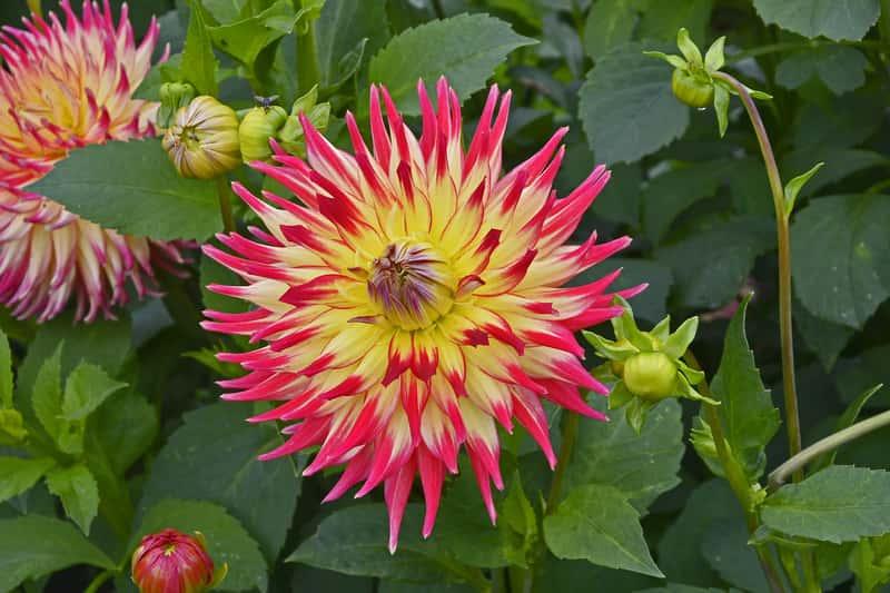 Dalia kaktusowa - sadzenie, uprawa, pielęgnacja, porady praktyczne