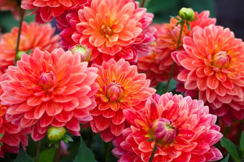 Dalia w okresie kwitnienia