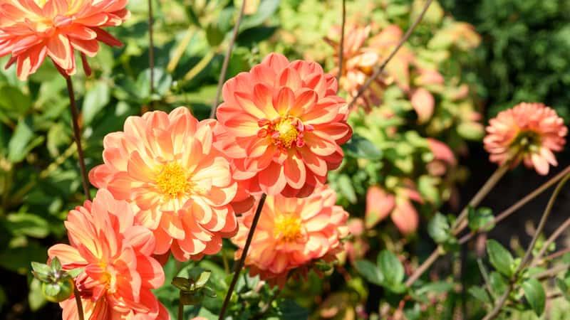 Kwiaty Dalie Odmiany Sadzenie Uprawa Pielęgnacja W Ogrodzie I W
