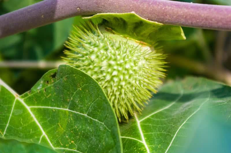 Owoc Datura metel, czyli bieluń surmikwiat, którego uprawa i pielęgnacja nie jest trudna, ale może być niebezpieczna