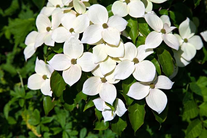 Dereń kousa w okresie kwitnienia