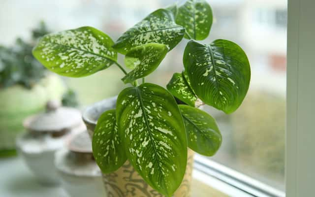 Kwiaty difenbachia - uprawa, pielęgnacja, choroby, rozmnażanie