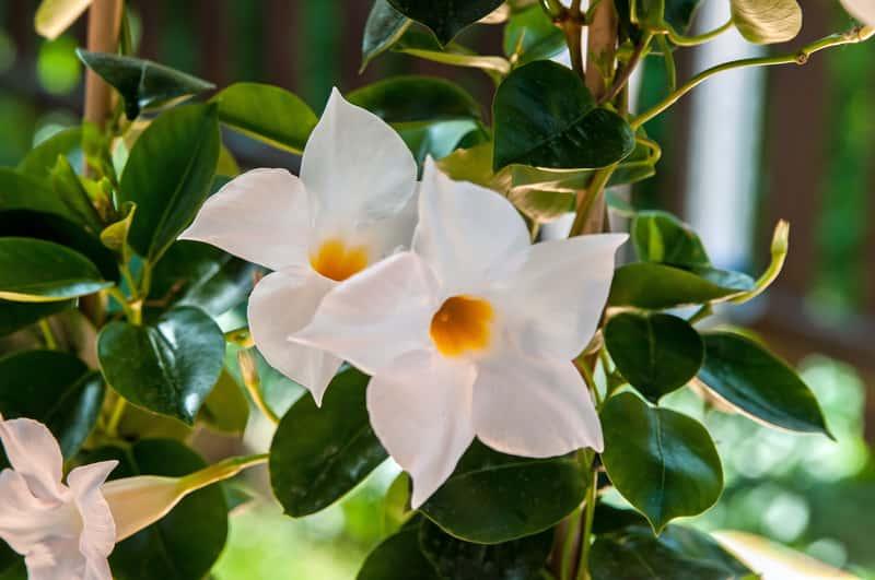 Dipladenia, czyli mandewila w okresie kwitnienia