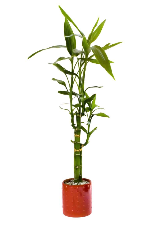 Dracena Sandera, czyli popularna dracena bambus Lucky Bamboo uprawiana w doniczce