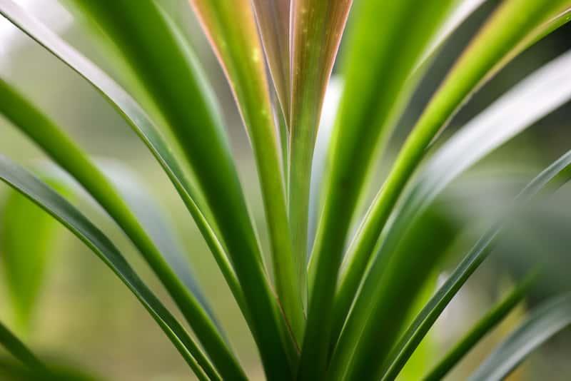 Dracena obrzeżona (marginata) - uprawa, podlewanie, pielęgnacja, przycinanie