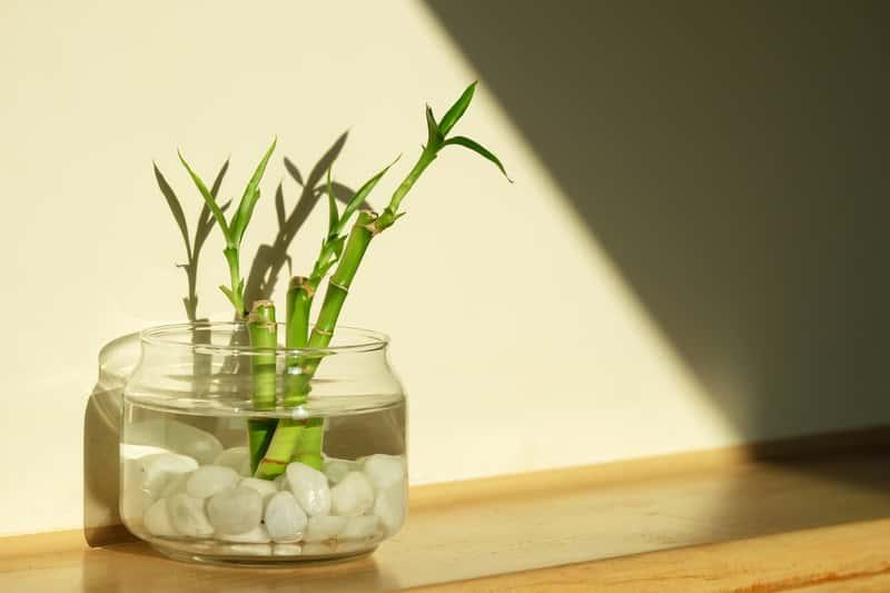 Dracena Sandera Lucky Bamboo w szklanym pojemniku uprawiana na zasadzie hydroponiki