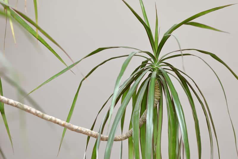 Dracena Smocza, czyli Dracena draco jako ciekawa roślina doniczkowa do uprawy w domu
