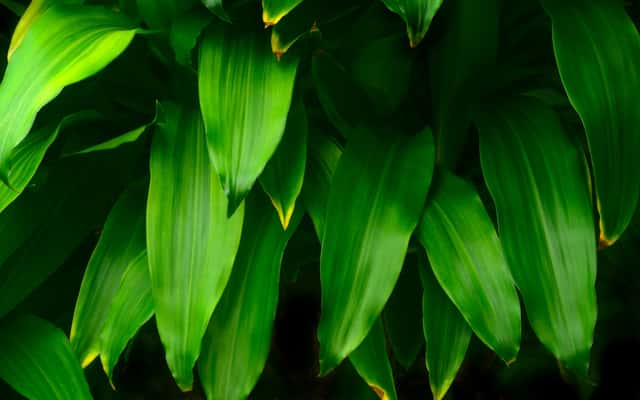 Dracena wonna ('Massangeana') - uprawa, pielęgnacja, podlewanie, choroby