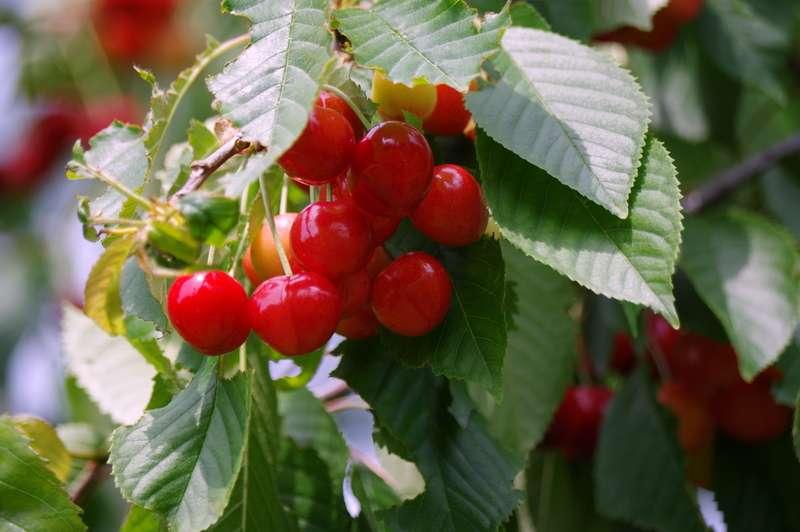 Pierwsze owoce czereśni na drzewie