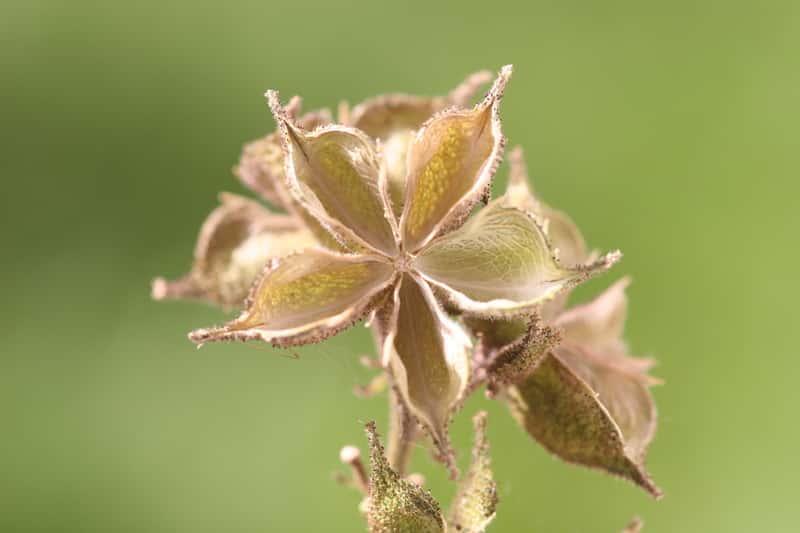 Dyptam jesionolistny - kwiat