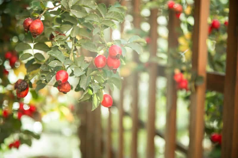 Dzika róża - właściwości lecznicze i zastosowanie owoców