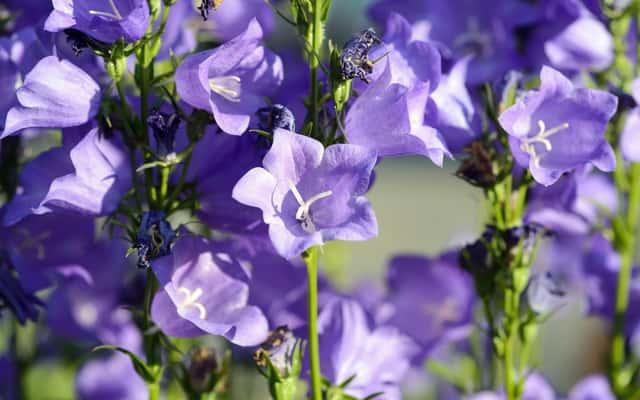 Dzwonek brzoskwiniolistny - odmiany, uprawa, pielęgnacja, porady praktyczne