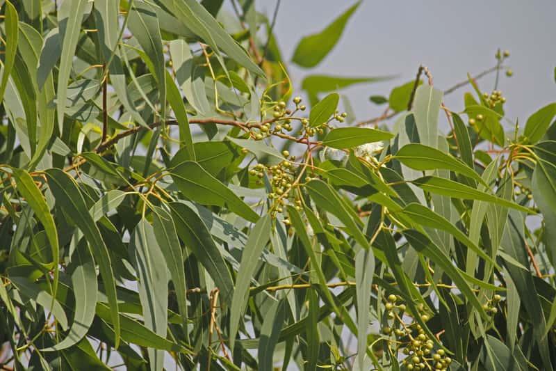 Eukaliptus cytrynowy to urocze dzrewko eukaliptusowe, które można zaprosić do swojego domu. Popularność zawdzięcza cytrusowemu zapachowi.