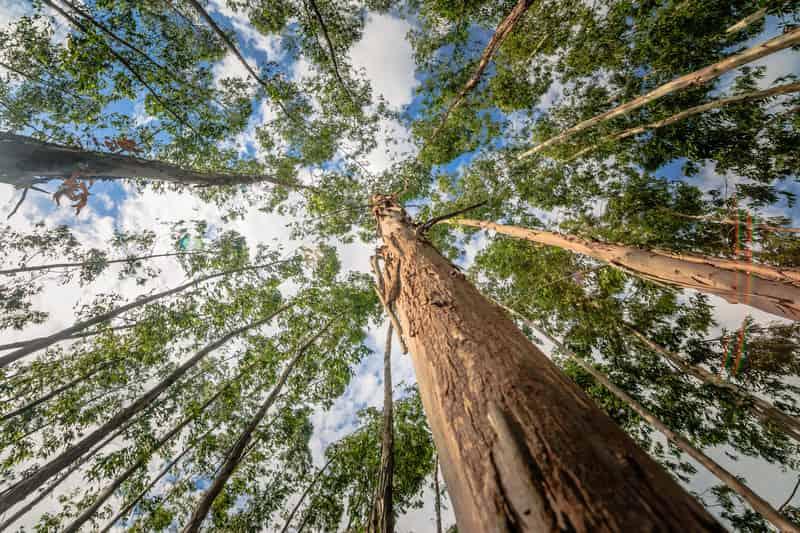 Eukaliptus królewski jako najwyższe drzewo na świecie obok sekwoi fotografowane od dołu