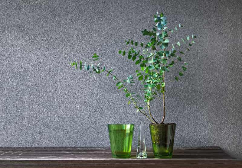Eukaliptus niebieski (Gunnii) - sadzenie, uprawa, pielęgnacja, przycinanie
