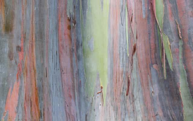 Eukaliptus tęczowy (Eucalyptus deglupta) - sadzenie, uprawa, pielęgnacja, porady
