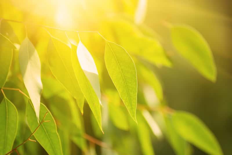 Zielone liście eukaliptusa w słońcu