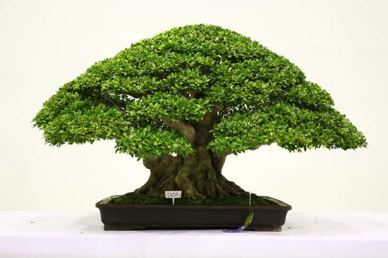 Uformowany ficus bonsai